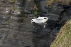 Fulmar Cliffs of Moher - Bob Gibbons