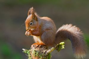 1024px-Redsquirrel_eating_2012