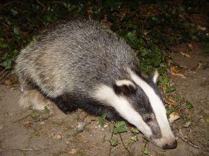 2048px-Badger-badger