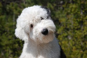 Old_English_Sheep_Dog
