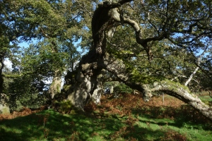 UKGF ancient tree