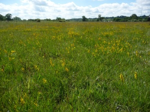 dyers greenweed in meadow