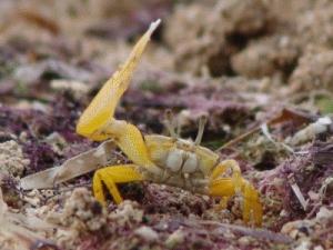 Fiddler Crab waving