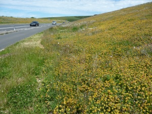 A spectacular array of Kidney vetch on the Weymouth Relief Road cutting