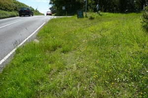 a road verge on the busy Weymouth to Bridport road